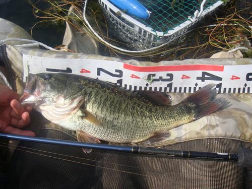 琵琶湖 ブラックバス