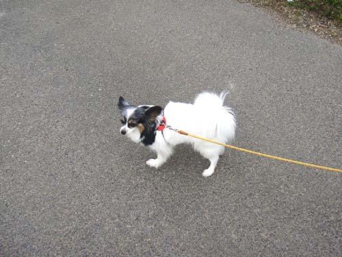 愛犬リム(パピヨン)の散歩