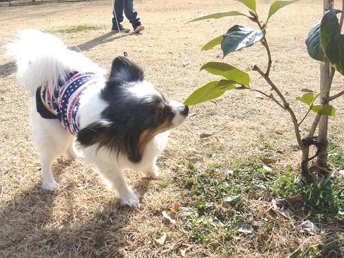 愛犬リム(パピヨン)