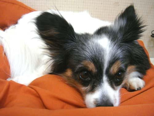 パピヨンの寝顔の写真