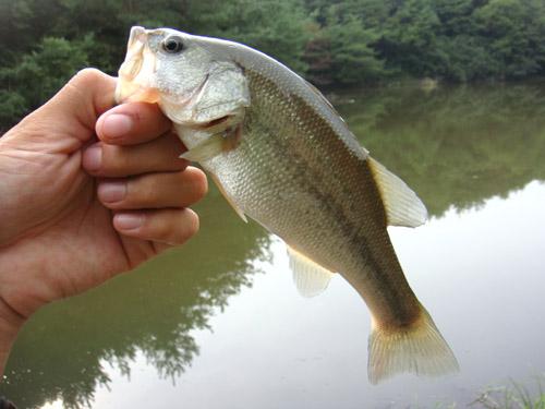 関市の野池でブラックバス釣り