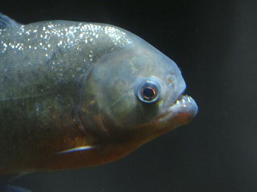 アマゾンの淡水魚