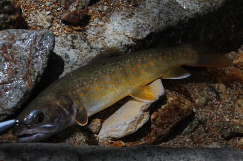 黄色い斑点の岩魚