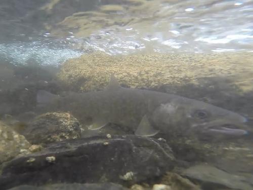 岩魚の水中撮影