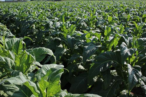 タバコ農園