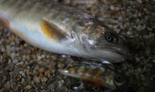 揖斐川上流で釣り