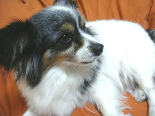 愛犬リム(パピヨン)の写真