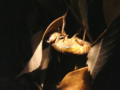 セミがサナギから脱皮する瞬間の写真
